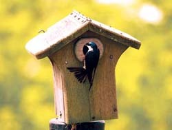 Tree Swallow on nesting box