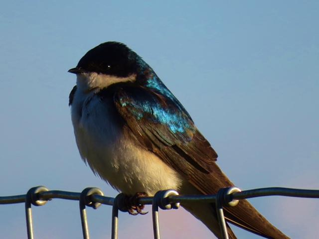 Tree Swallow on fence - CO