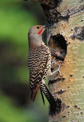 Northern Flicker at nesting cavity