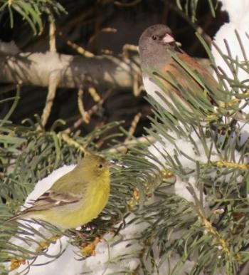 Lesser Goldfinch and Junco