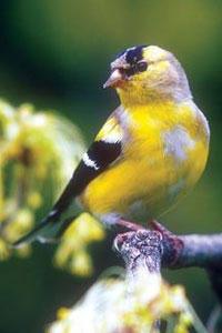 Goldfinch Molting