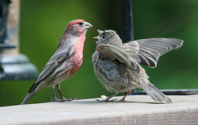 Male House Finch feeding young